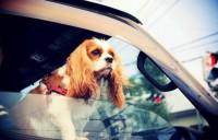 """同乗したペットのケガも補償する自動車保険""""特約""""とは"""